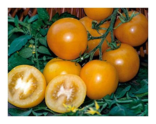 Tomate Golden Sunrise - Tomate vigne - 15 graines