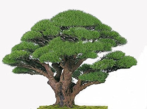 20 Seeds Casuarina equisetifolia Australian Pine Tree Seeds Bonsai Ironwood Aged Look Fissured Bark Container or Standard Gardens (25)