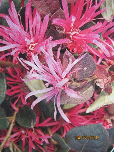 Baumschule Pflanzenvielfalt Loropetalum chinense Pipas Red - Riemenblüte Pipas Red