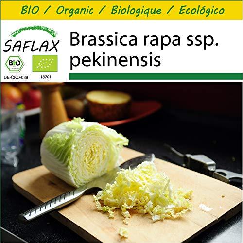 SAFLAX - Anzucht Set - BIO - Chinakohl - Granat - 40 Samen - Mit Mini-Gewächshaus, Anzuchtsubstrat und 2 Töpfen - Brassica rapa
