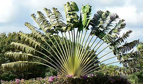 Ravenala madagascariensis 20 Samen - Baum der Reisenden - Bananensamen-