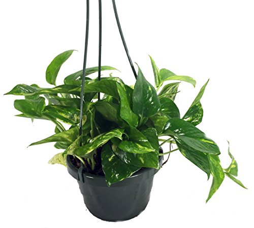 Plants that don't need sunlight -Pothos (Money Plant)