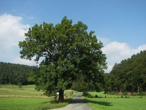1000 Samen Gemeine Esche (Heimischer Baum - Winterhart) Lat : Fraxinus excelsior