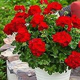 Pflanzen Kölle Geranie 'Calliope® Dark Red', 6er-Set, rot, Topf 13 cm Ø