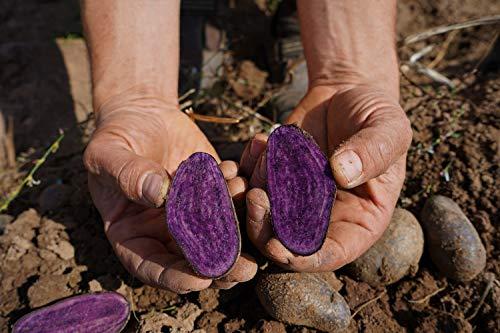 Trüffelkartoffel Violetta aus der Rhön - lila durchgefärbtes Fruchtfleisch - festkochend - 5 kg
