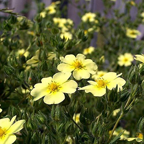 XINDUO Graines de Parfum rares,Graines de Fleur de Plante Potentilla-0,25 kg,Mélange Fleurs graines