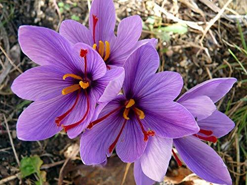 ASTONISH Erstaunen SEEDS: Safrankrokus 10 Zwiebeln - Rare Sp - Fall Blooming - Crocus