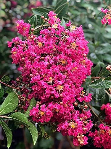 SAGEAWAY Mirto (Lagerstroemia Indica) Semillas de Flores