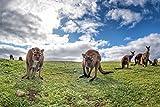 Kängurus Australien Wiese Natur Tier XXL Wandbild Foto
