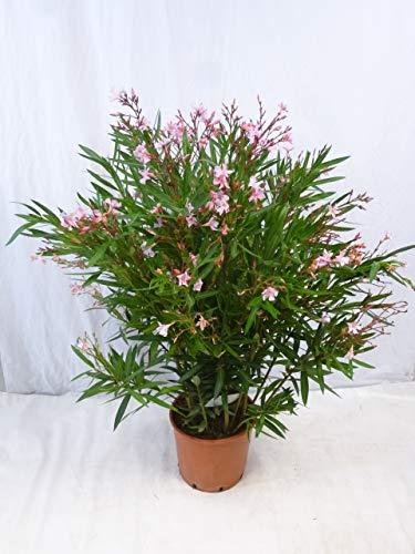 [Palmenlager] - XXL Oleander 130 cm -Busch - ROSA - Nerium oleander - mediterrane Pflanze (Rosa)