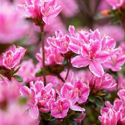 Japanische Azalee 'Kermesina Rose' -R- 2 L Topf gewachsen