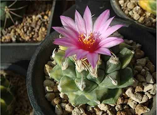 AGROBITS 20P réel Cactus Turbinicarpus Alonsoi Succulent Easy Grow Bonsai