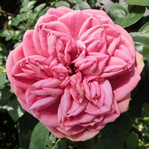 バラ苗 2年大株 4号 ピンクピアノ Hybrid tea Roses N1205 送料無料 贈答 ハロウィン お歳暮