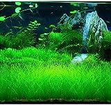 eleocharis yokoscensis piante semi 10g carro armato di pesce organico decorazioni idroponica pianta in crescita semi fiore per piantare hone garden outdoor (grande)