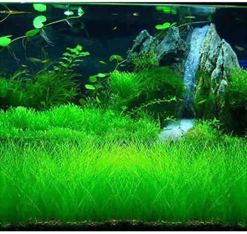 Eleocharis yokoscensis Semillas de plantas 10g Decoraciones