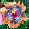 Environ 100 Pieces / Lot géant Graines Hibiscus Flower Garden & Home vivaces en pot Plantes Fleurs Okra Hibiscus Bonsai Graines de gazon #1