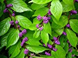 Early Amethyst Beautyberry - Callicarpa - Shrub/Bonsai - 4' Pot