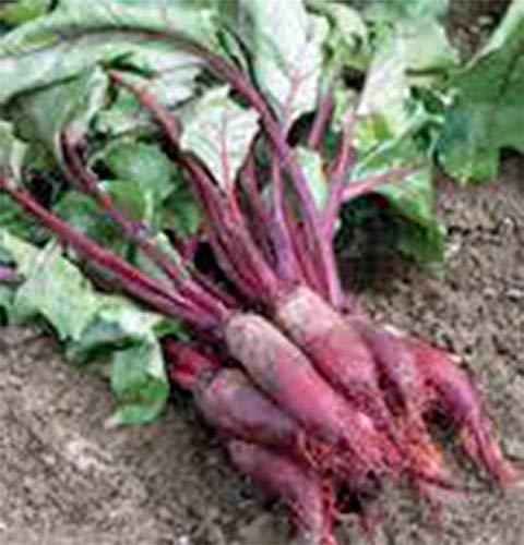 SANHOC Samen-Paket: Beets, CYLINDRA, Nicht-GVO, Erbschaft, Organisch, 25+ Samen, Shaped Beet