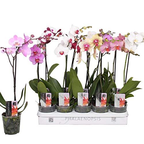 5 Stück Phalaenopsis 50-60 cm / 1 Trieb Blüten - Orchideen - Topforchidee