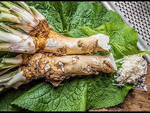 25 Graines de Raifort - légume aromatique jardin potager - méthode BIO