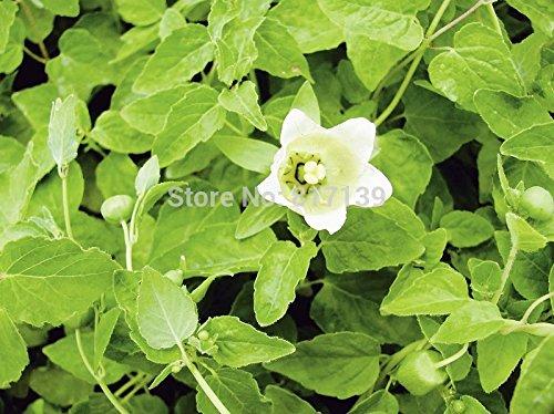 Nouveau jardin des plantes 100 Graines Codonopsis pilosula Seeds Dang Shen ou Ginseng Graines Poor Man Livraison gratuite