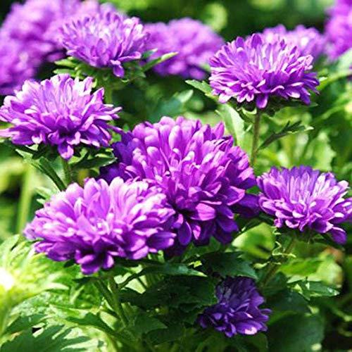 Lila August Chrysanthemen Samen Balkon Topfblume 30 Stück Regenbogenmischung, Zum Pflanzen, Voreinstellen und Sehen im Gartenhof .90% Keimung