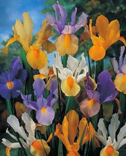 Iris Holandica Gemischt (100 Blumenzwiebeln)
