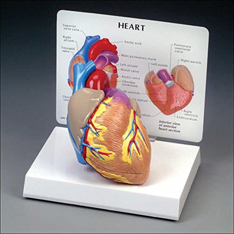 Anatomische Diagramm Diagramm Diagramm 000000 – G250 Cutaway Herz Modell B06XCPJHW2 | Günstig  a6bc0c