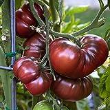 Seeds: Fd1543 1 Confezione 50 semi PastoralSeed Farinacea Garden fiore? Il prezzo include doveri Customes Semi è il pacchetto set Spedizione fornendo internazionale