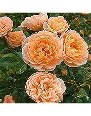 TOYHEART 100 Piezas De Semillas De Flores Premium, Semillas De Rosas Trepadoras, Cultivos De Colores Brillantes De Crecimiento Rápido, Semillas De Plantas De Jardín para Jardín