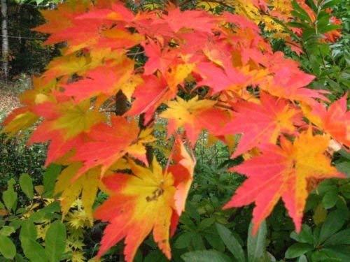 Korean Ahorn, Koreanischer Fächer-Ahorn, Baum Samen (Fall-Farbe, Bonsai, Fast) 10