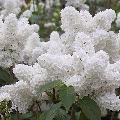 100pcs/paquet Graines Blanc Lilas japonais (très odorants) graines de fleurs de clou de girofle pour la maison et le jardin 1