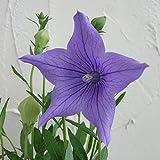 キキョウ:五月雨桔梗 紫花3号ポット 4株セット[さみだれききょう・花壇向き高性種 茶花・切り花に]