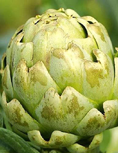 50 Green Globe Artichoke Seeds   Non-GMO   Fresh Garden Seeds