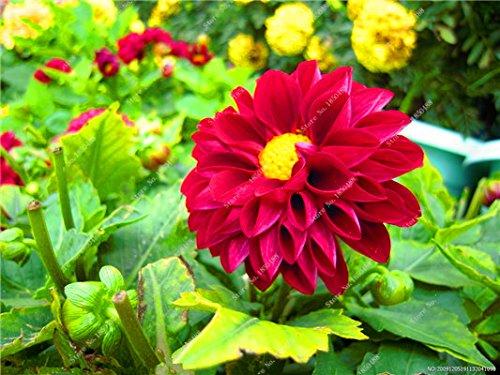Double Dahlia Seed Mini Mary Fleurs Graines Bonsai Plante en pot bricolage jardin odorant Fleur, croissance naturelle de haute qualité 50 Pcs 11