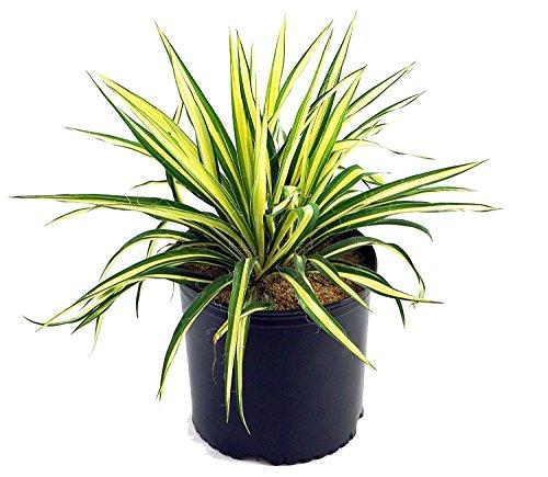 Yucca Filamentosa'阴罩'(yucca)灌木,#2  - 尺寸容器