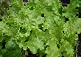 Black-Seeded Simpson Lettuce...image