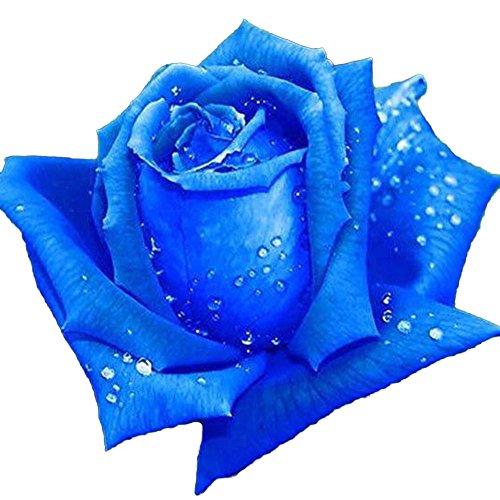 Hanbaili Paquete de 2 Semillas de Rosa Azul (100 Piezas/Paquete), Semi