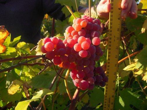 10 géante rouge GLOBE RAISIN Vitis raisins Graines par Seedville