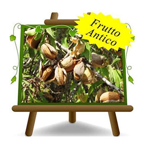 Mandorli Tuono - Pianta da frutto Antico Portainnesto Pesco su vaso da 26 - albero max 200 cm - 4 anni