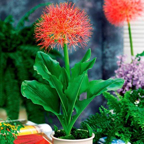 SummerRio Garten-50 Pcs Selten blutblume zwiebeln blumen blutblume samen Agapanthus Pflanzen Scadoxus multiflorus Blumensamen mehrjährig winterhart für Topf und Vase