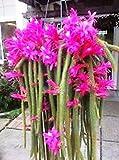 Semi ad alto tasso di germinazione 6 (schwer zu bekommen) aporocactus flagelliformis coda di ratto cactus stecklinge !!! La confezione contiene 1 set di semi L'immagine è solo un'indicazione di tipo
