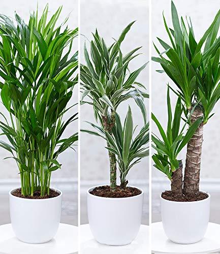 """BALDUR-Garten Zimmerpflanzen-Mix\""""Palme XXL\"""", 3 Pflanzen 1 Pflanze Areca Palme, 1 Pflanze Dracena Warneckei und 1 Pflanze Yucca-Palme"""