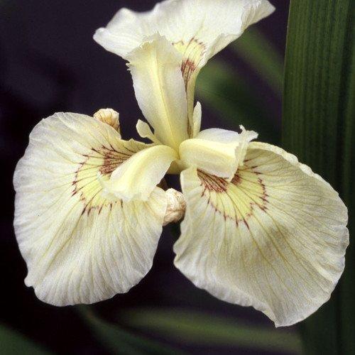 Plant World Seeds - Iris 'Clotted Cream' Seeds