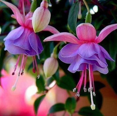 lanternes Fuchsia / fleurs / graines de fleurs balcon intérieur salon / Begonia de Bell pot graines de fleurs 100 graines 1