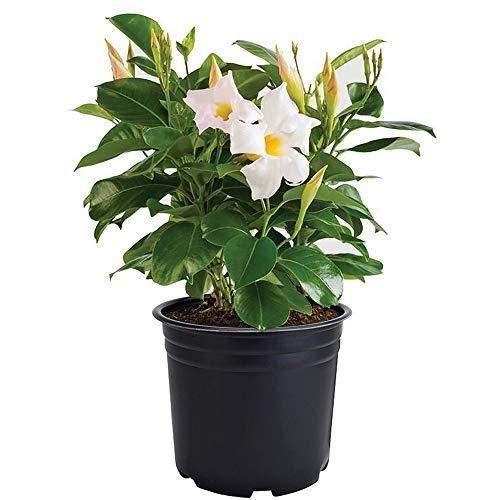 AMERICAN PLANT EXCHANGE Dipladenia Mandevilla Live Plant, 6
