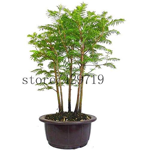 50 Stück Metasequoia Bonsai-Baum Urweltmammutbaum 200 große Kirschtomatensamen als Geschenk beste Bonsai Blumensamen für Hausgarten schicken