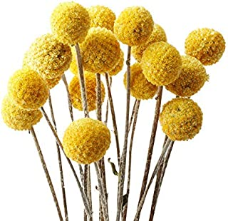 LAVENDA Natural Dried Flowers Yellow Billy Balls Decorative Floral for Home Decoration,20 pcs