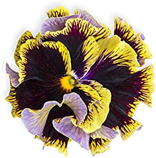 Ruffled Yellow Heart Pansy Seeds UPC 600188195064 + 1 Free Plant Marker (150)