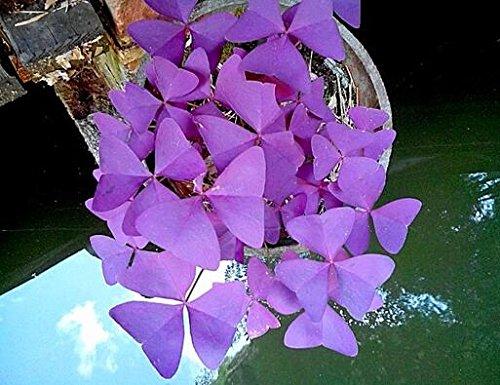 100 Red Oxalis acetosella Fiore Oxalis viola trifoglio 100% semi di bonsai reale di fiori perenni all'aperto per giardino di casa 7